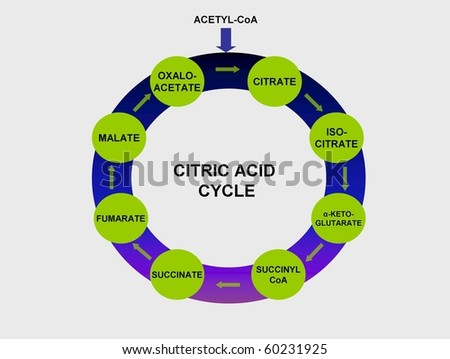 citric acid cycle. photo : Citric acid cycle