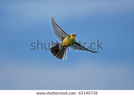 Citrine Wagtail (Motacilla citreola) in flight