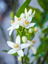 Citrus aurantium or Bitter Orange, white flowers in the blurred background, close up. Marmalade orange is ornamental citrus tree,  flowering plant in the rue family Rutaceae including lemon and pomelo