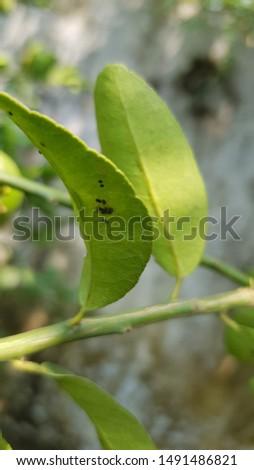 Citrus blackfly on citrus plant #1491486821