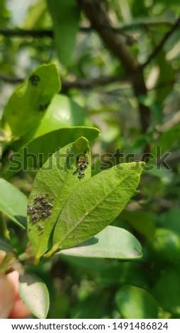 Citrus blackfly on citrus plant #1491486824