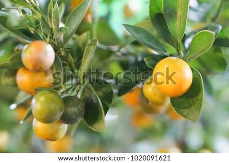 Citrus Citrus Citrus #1020091621