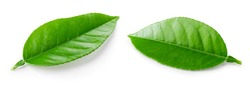 Citrus leaves isolated. Green fruit leaf (orange, lemon, lime, grapefruit, tea) on a white. Citrus branch with leaves. Collection. Clipping path. Full depth of field.