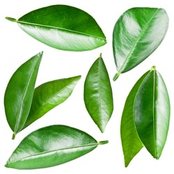 Citrus leaves isolated on a white background.