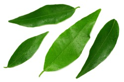 citrus leaves isolated on white background. top view. mandarin leaves. orange leaves