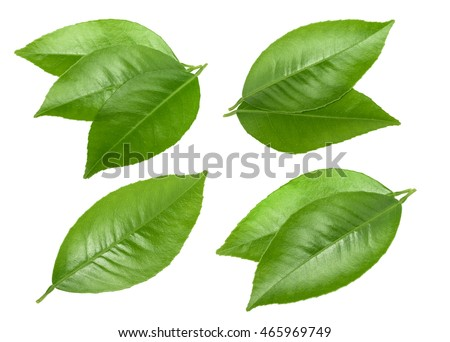 Citrus leaves isolated without shadow #465969749