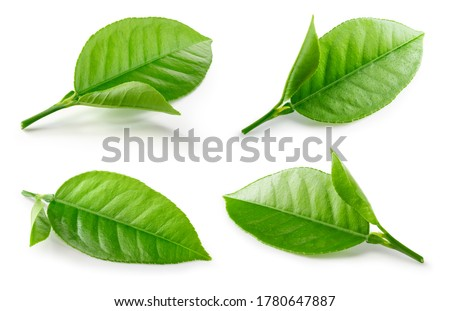 Citrusleaves on white. Orange, lemon, lime, tangerine leaf isolated. Orange leaf. Lemon leaf. Citrus branch with leaves. With clipping path. Full depth of field.