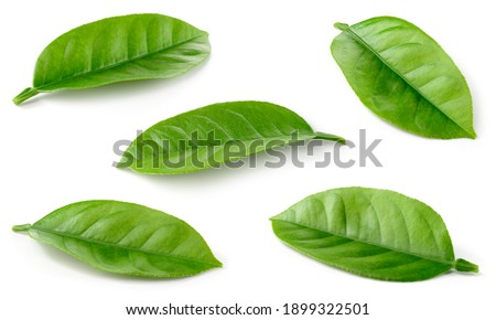 Citrusleaves on white. Orange, lemon, lime, tangerine leaf isolated. Orange leaf. Lemon leaf. Citrus leaf set. With clipping path. Full depth of field.