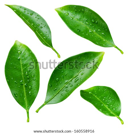 Citrus leaves with drops isolated on a white background #160558916