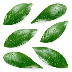 Citrus leaves with drops isolated on a white background. Collection. Full depth of field.