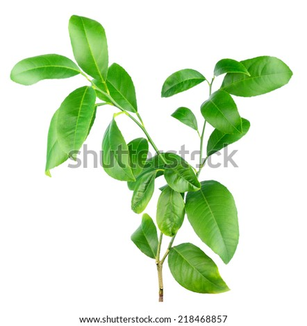Citrus lemon plant isolated #218468857