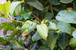 Citrus Limon, Four seasons lemon tree