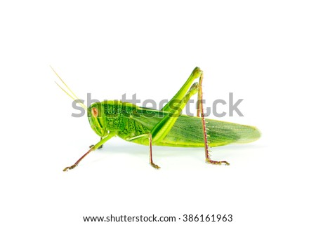 Citrus Locust/ Cotton Locust (Chondracris rosea brunneri) on white background
