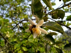 Citrus × sinensis with selective focus on subject. Tachibana orange with honey bee. Easy way of pollination. Citrus fruits with honey bee. Honey bee flower. Honey bee