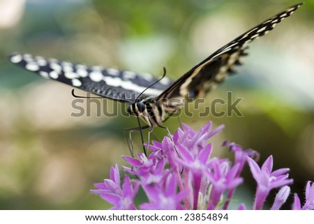 Citrus Swallowtail butterfly looking at the camera