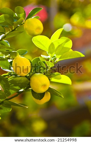 Citrus tree.