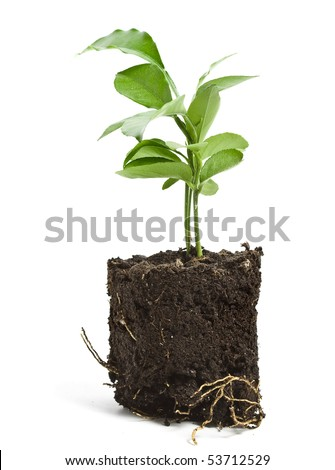 citrus tree sapling seedling in soil isolated on white background