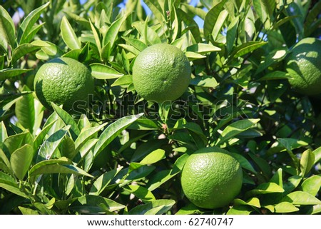 Citrus tree with fruits
