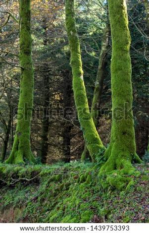 Cittanova, location Zomaro, district of Reggio Calabria, Calabria, Aspromonte, Italy, Europe, view of tree trunks with moss #1439753393