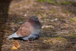 City bird. Brown pigeon (Columba livia) walks on the dry grass. Pigeon looking for food on the city street. Sunny spring day. Tallinn, Lasnamae district (Estonian - Lasnamäe), Estonia.