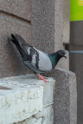 City bird. Grey pigeon (Columba livia) sitting on the house wall. Sunny summer day. Tallinn city center (Estonian - Kesklinn), Estonia.