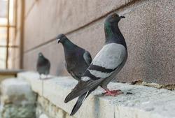City birds. Grey pigeons (Columba livia) sitting on the house wall. Sunny summer day. Tallinn city center (Estonian - Kesklinn), Estonia.