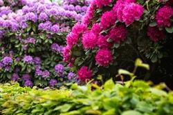 City Park, Grosser Garten in Dresden, Dresden, Saxony, rhododendrons, flowering bushes, flowers, red rhododendrons