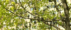 City pigeons have found a protected place in the crown of the tree to rest