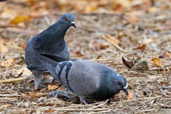 City pigeons search for food in yellow leaves that have fallen from a tree