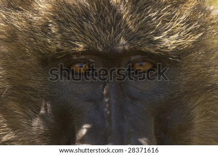 ckose-up picture of baboon monkey face , Masai Mara National reserve, Kenya