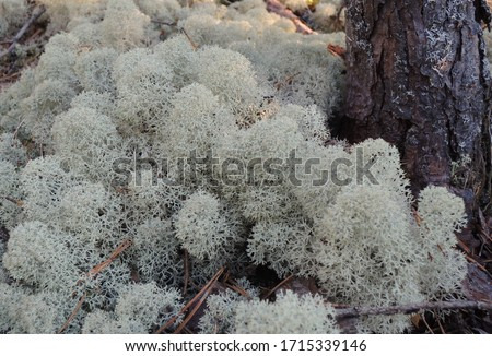 Cladonia stellaris (known also as Northern Reindeer Lichen or Start Reindeer Lichen)  growing in thin soil over rocks, in open coniferous forests, often common in lichen woodlands