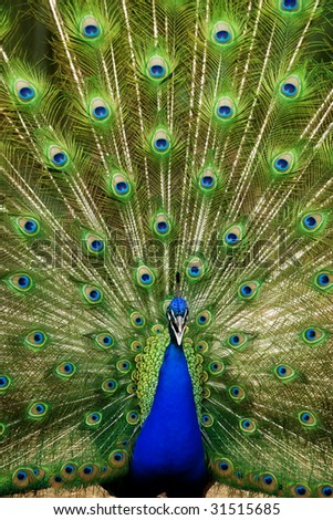 Claiming indian peacock with tail extended.