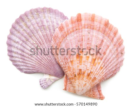 clam mollusc shells isolated on white background Сток-фото ©