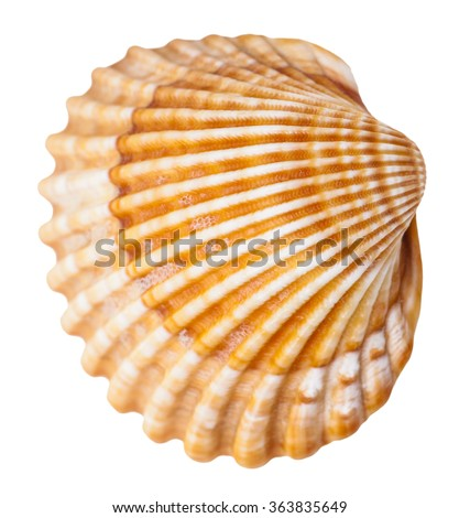 clam mollusk shell isolated on white background Сток-фото ©