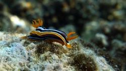 Clams. Nudibranch mollusks - Nudibranchia Chromodorides - Chromodorididae Four-color Chromodoris (Pajamas).