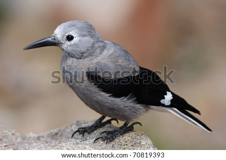 Clark's Nutcracker Jay Closeup