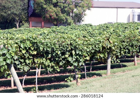 CLARKSVILLE, KY-MAY, 2015:  Vineyard at Beachaven Winery.  Beachaven, founded in 1986 is Tennessee\'s largest winery.