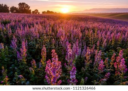 Clary sage field, sunrise. Valensole, Provence, France.