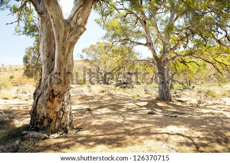 Classic Australian outback bush scenic with huge gum tree's in a dry river bed