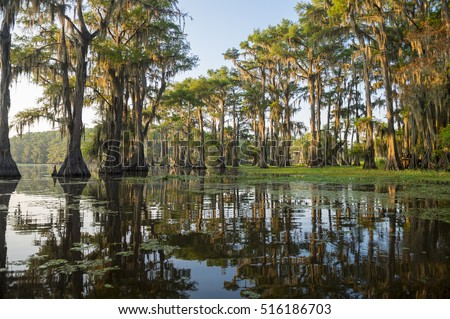 Classic bayou swamp scene of the American South featuring bald cypress trees reflecting on murky water in Caddo Lake, Texas, USA