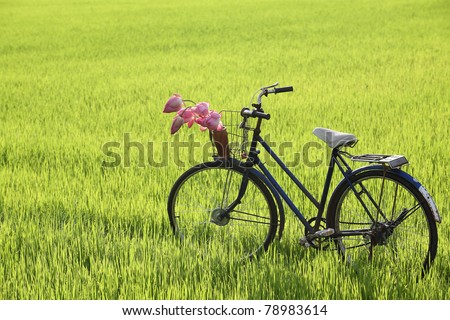 classic bicycle with lotus flower in basket,standing in paddy field.