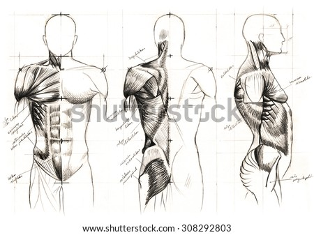 Classic Black And White Pencil Drawing Of Human Muscles Anatomy Stock Photo 308292803  Shutterstock