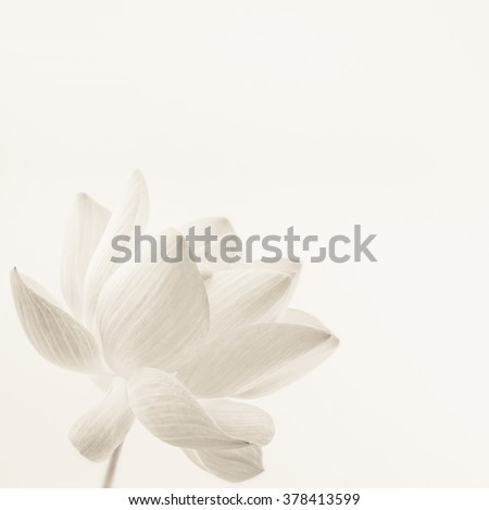 classic color lotus in soft style for background
