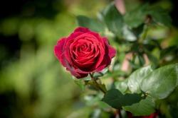 Classic red rose in full bloom