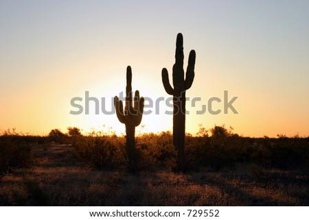 classic saguaro cactus in the sunrise of arizona