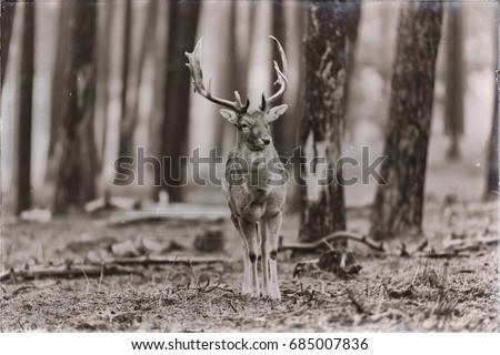 Classic sepia photo of single fallow deer buck standing in forest.