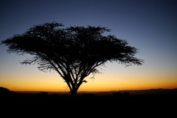 classic thorn tree at sunset in africa