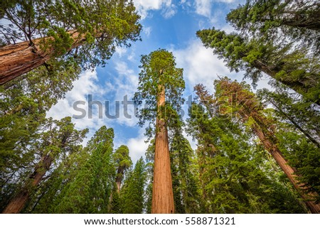 Classic wide-angle view of famous giant sequoia trees, known as giant redwoods or Sierra redwoods, on a beautiful sunny day with blue sky and clouds in summer, Sequoia National Park, California, USA