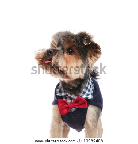 classy yorkie with tongue exposed looks to side while standing on white background