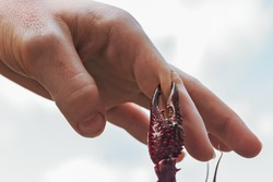 Claws pinching a hand. Getting pinched on the hand while playing with a crawfish. A man's finger on a crawfish in Delcambre, Louisiana.
